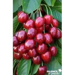 Cerisier geant hedelfingen...