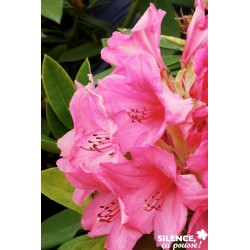 Rhododendron x anna rose...