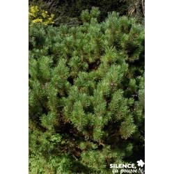 Pinus mugo mughus...