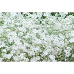 Cerastium tomentosum c0.65l