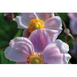 Anemone japon c0.65l