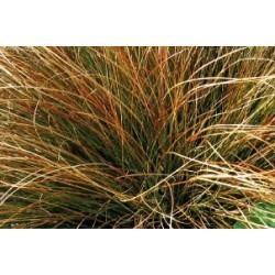 Carex testacea c0.65l
