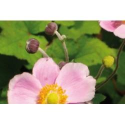 Anemone japon clair c0.65l