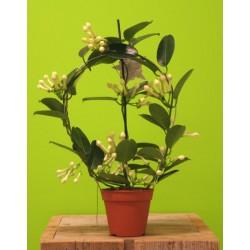 Stephanotis floribunda...