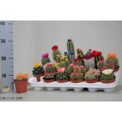 Cactus h25-p8.5
