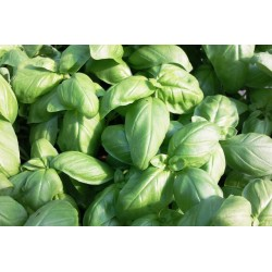 Basilic grandes feuilles C1L