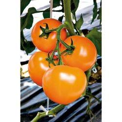 Tomate Margold GREF-C1L
