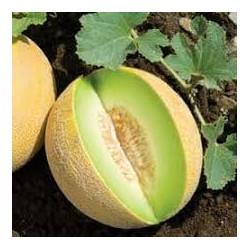 Melon brodé Anasta f1 GREF-C1L