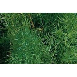 Asparagus sprengeri c0.65l