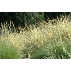 Carex comans vert c0.65l