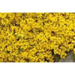 Alyssum montanum c0.65l