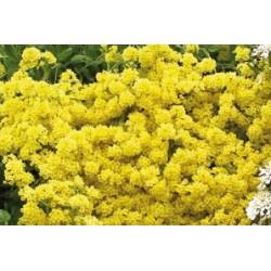 Alyssum saxatile c0.65l