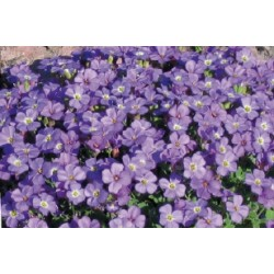 Aubrieta royal blue c0.65l