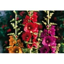 Alcea rosea sple c0.65l