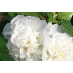Alcea rosea c0.65l