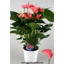 Anthurium andreanum pink...