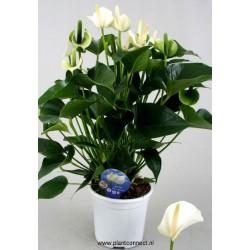 Anthurium andreanum white...