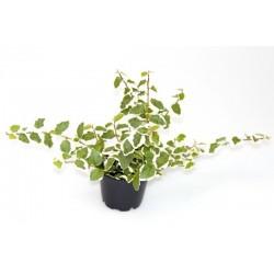 Ficus pumila h5 -p6