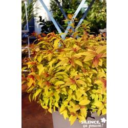 Spiraea japonica little...