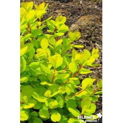 Spiraea betulifolia tor...
