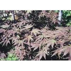 Acer palmatum atropurpureum...