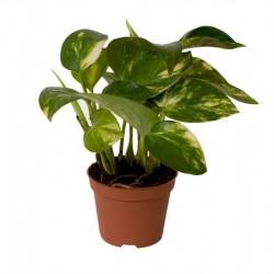 Pothos pinnatum aureum h15-p6
