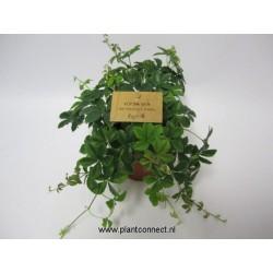 Parthenocissus inserta...
