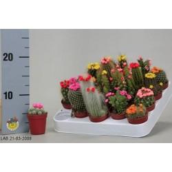 Cactus h8-p5.5