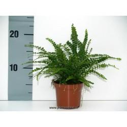 Nephrolepis cordifolia...