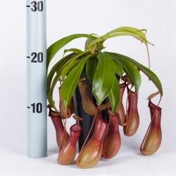Nepenthes alata 14+flr-h50-p14