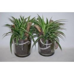 Chlorophytum h30-p13-verr