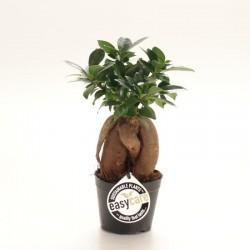 Ficus microcarpa ginseng...