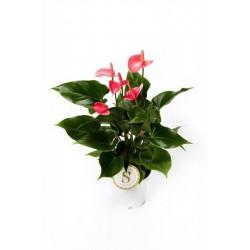 Anthurium andreanum...