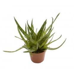 Aloe bakerii h15-p6