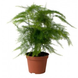 Asparagus setaceus h15-p6