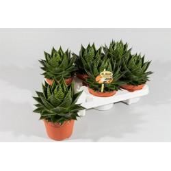 Aloe 'cosmo' h22-p13
